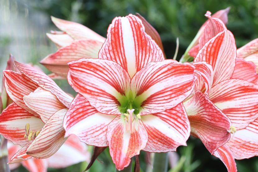 Фото цветов Гиппеаструма