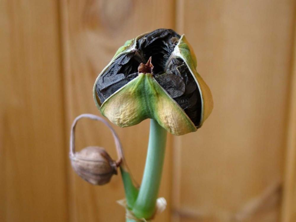 Фото плода гиппеаструма