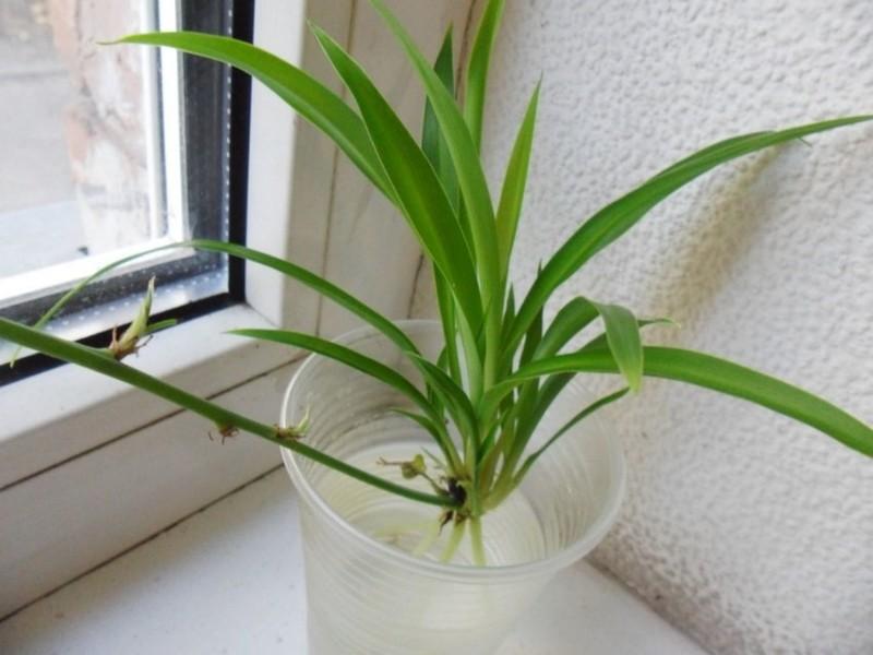 Фото размножения хлорофитума