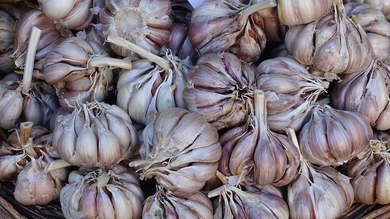 Фото урожая чеснока