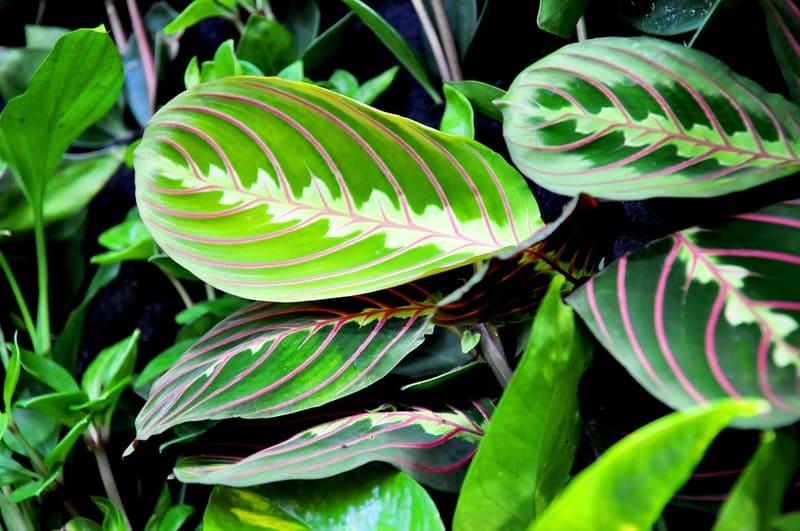Фото листьев Маранты