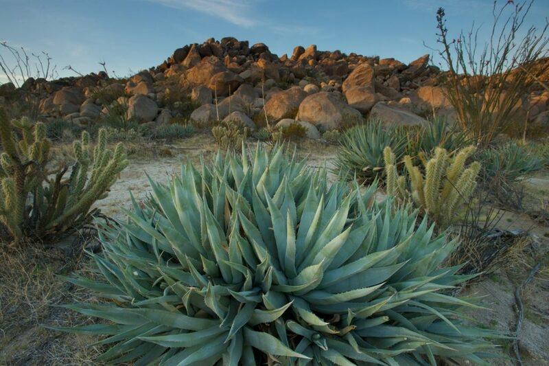 Фото агавы в пустыне