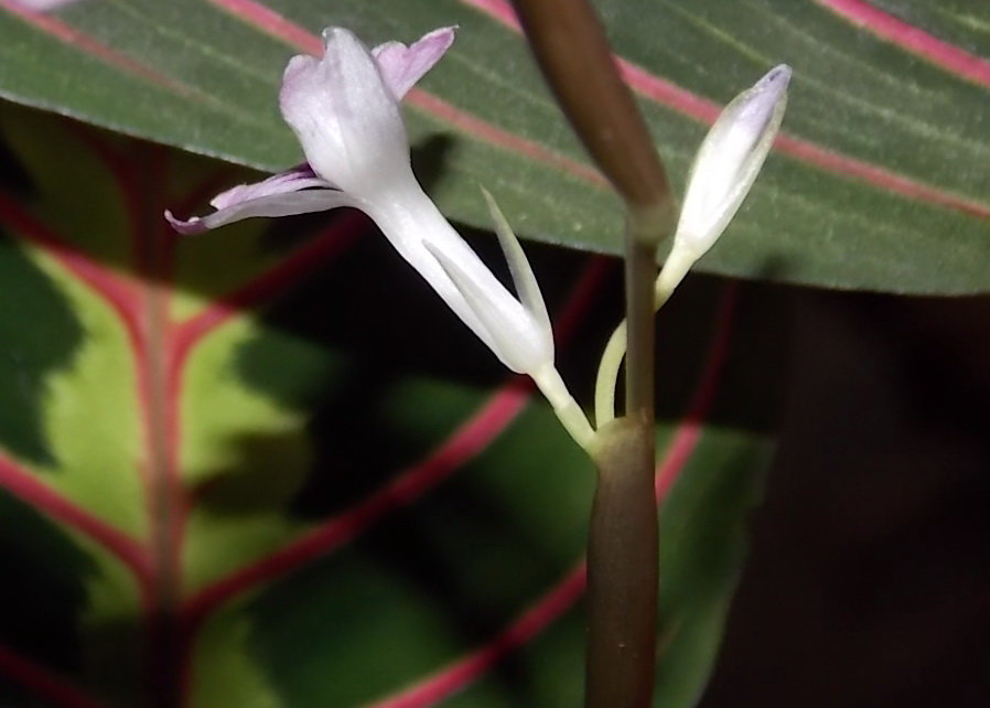 Фото цветков Маранты