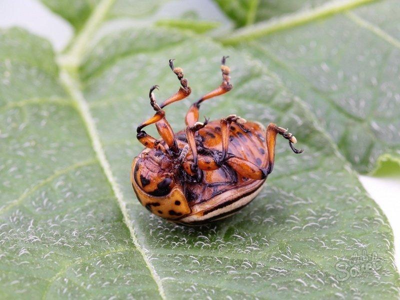 Фото колорадского жука