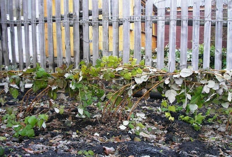 Фото подготовки малины к зиме