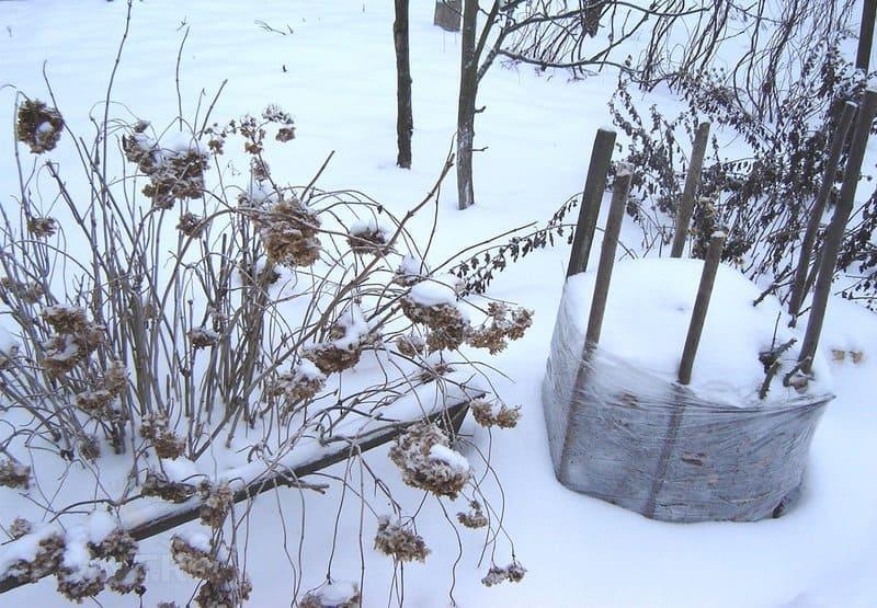 Фото укрытой на зиму малины