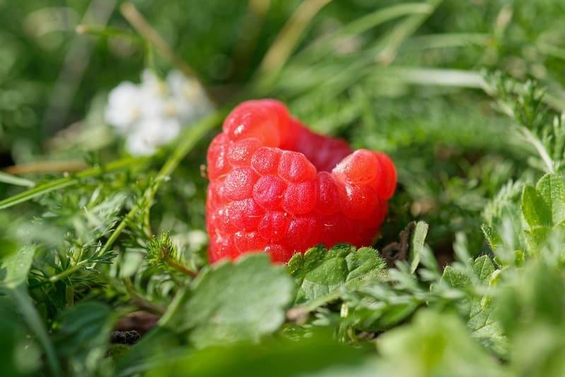 Фото ягоды малины