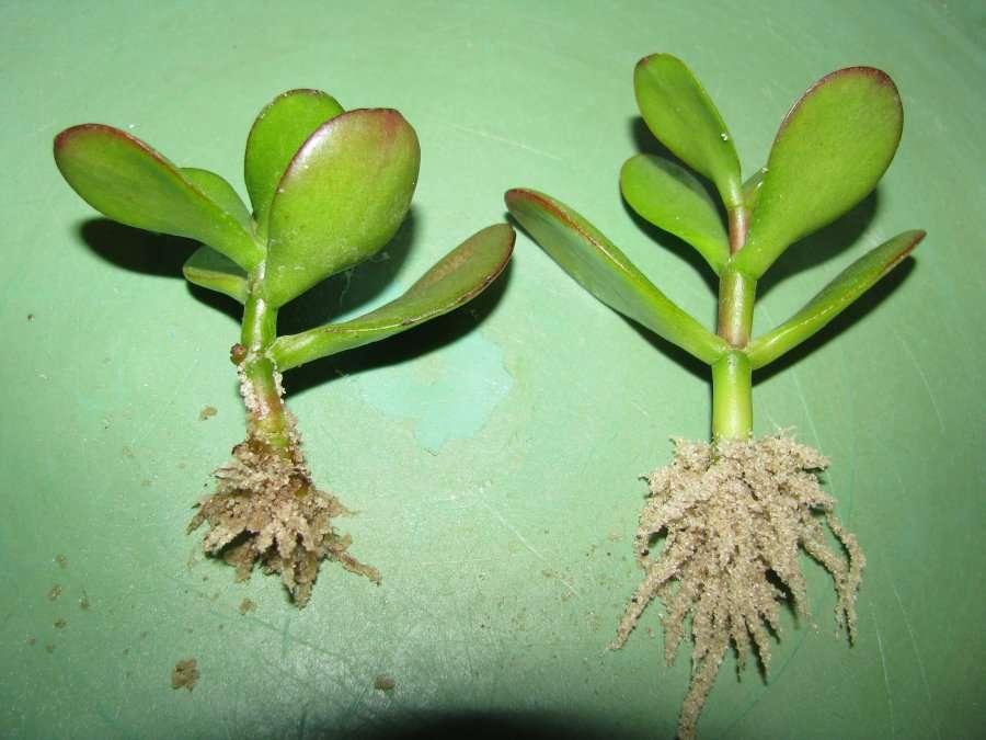 Фото корней толстянки