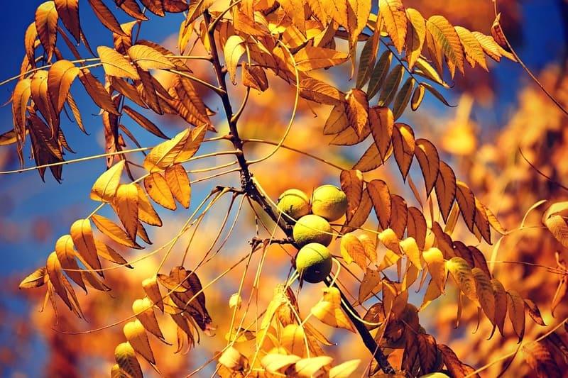 Фото орехов на дереве