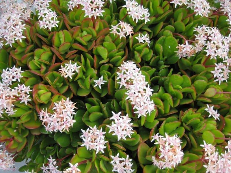 Фото цветов толстянки