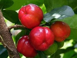 Фото барбадосской вишни