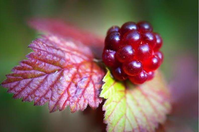Фото ягоды княженики 02