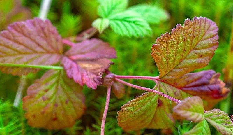 Фото листьев княженики