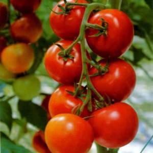 Фото помидора