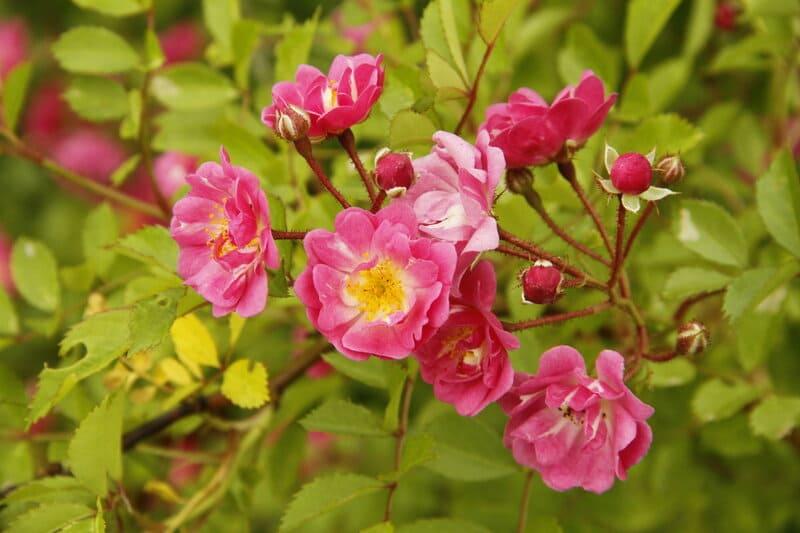 Фото цветков розовых