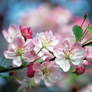 Фото яблони