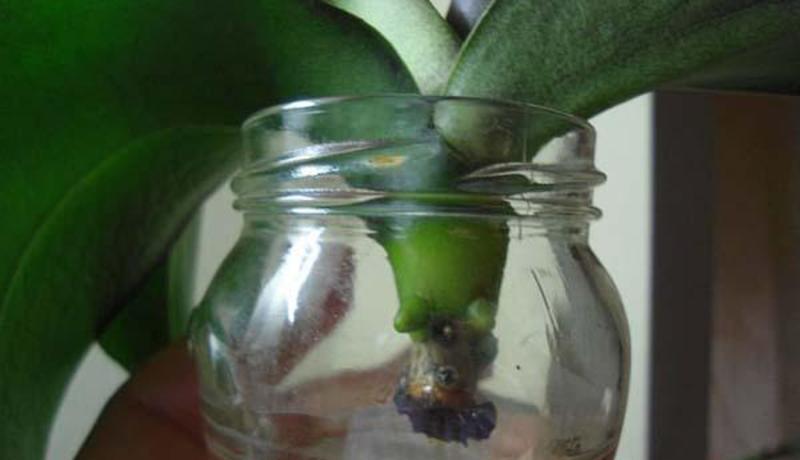 Фото реанимации корней орхидеи