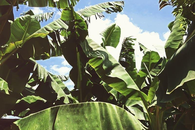 Фото растения банан