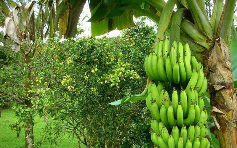 Фото бананов на дереве