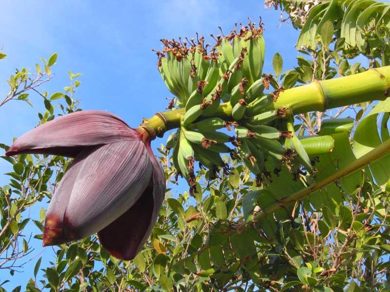 Фото цветка банана