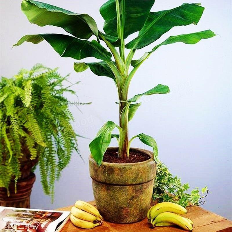 Фото банана в кадке