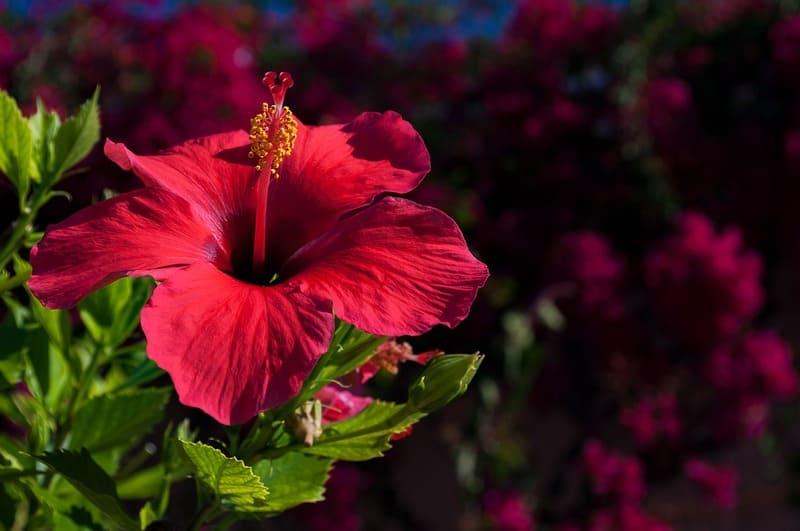 Фото цветка гибискуса в горшке