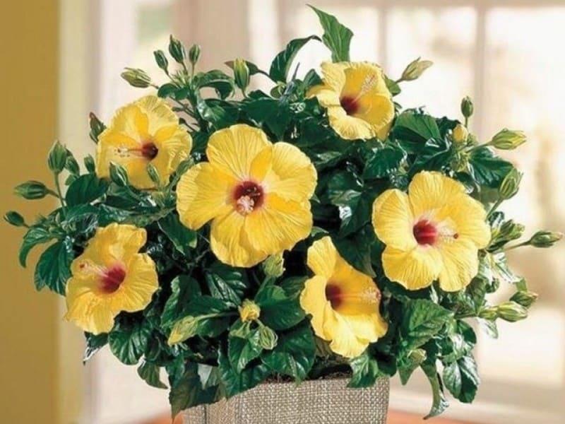 Фото цветения гибискуса