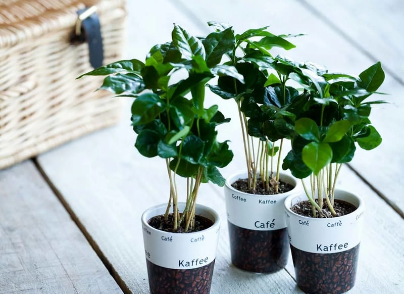 Фото кофейных растений
