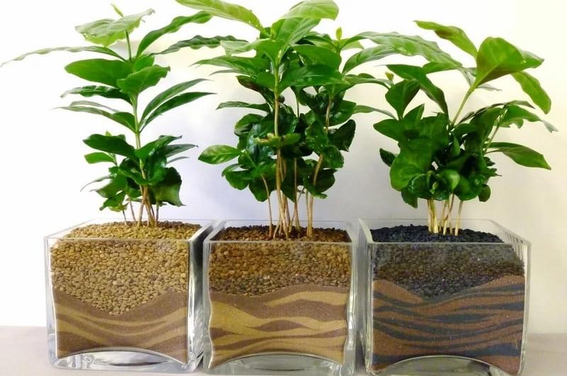 Фото кофейного дерева