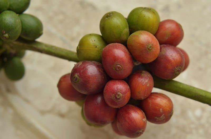 Фото плодов кофе