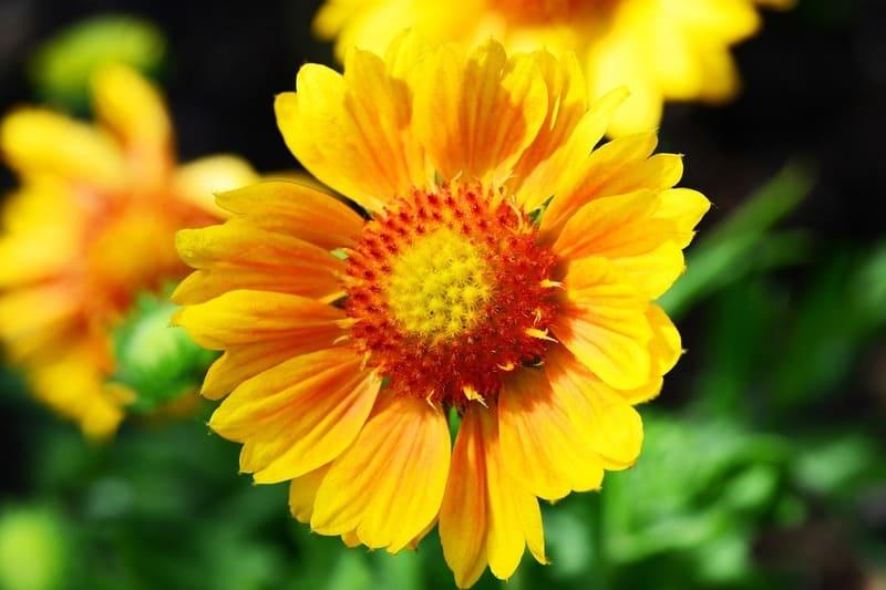 Фото цветка гайлардии