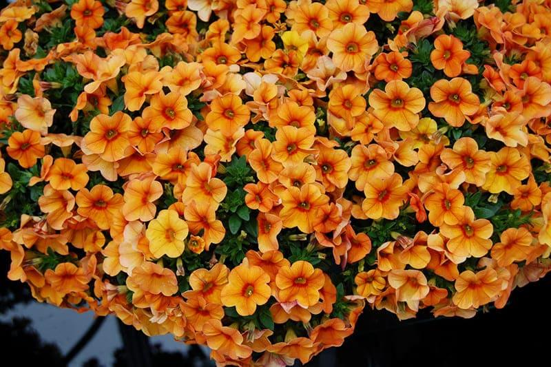 Фото цветов калибрахоа