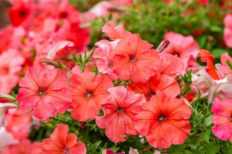 Фото цветов петунии