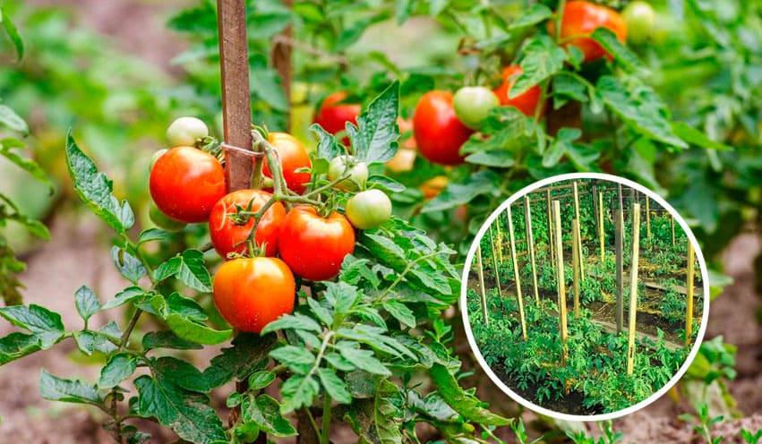 Фото подвязанных помидоров