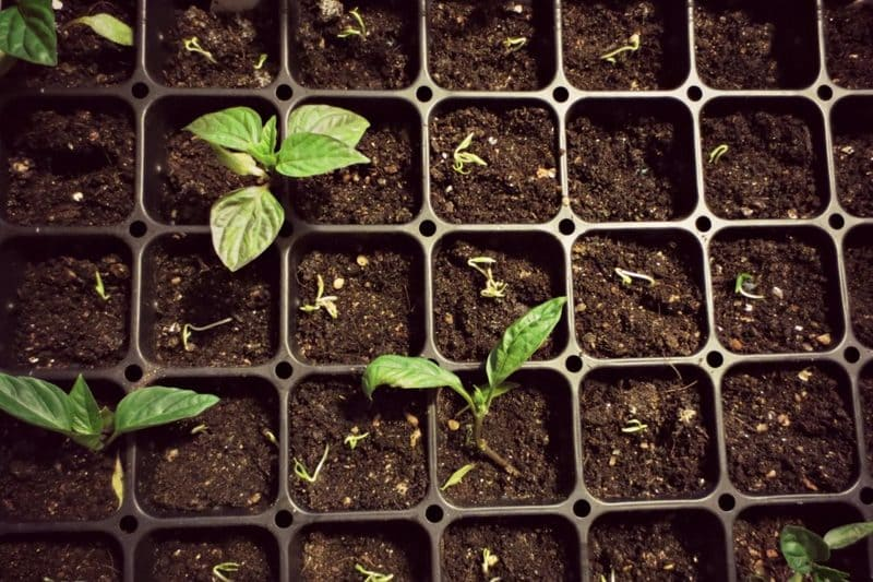 Фото проросших семян перца