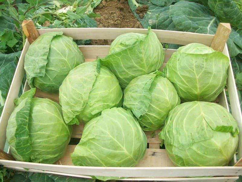 Фото сбора урожая капусты