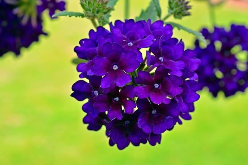 Фото цветка вербены