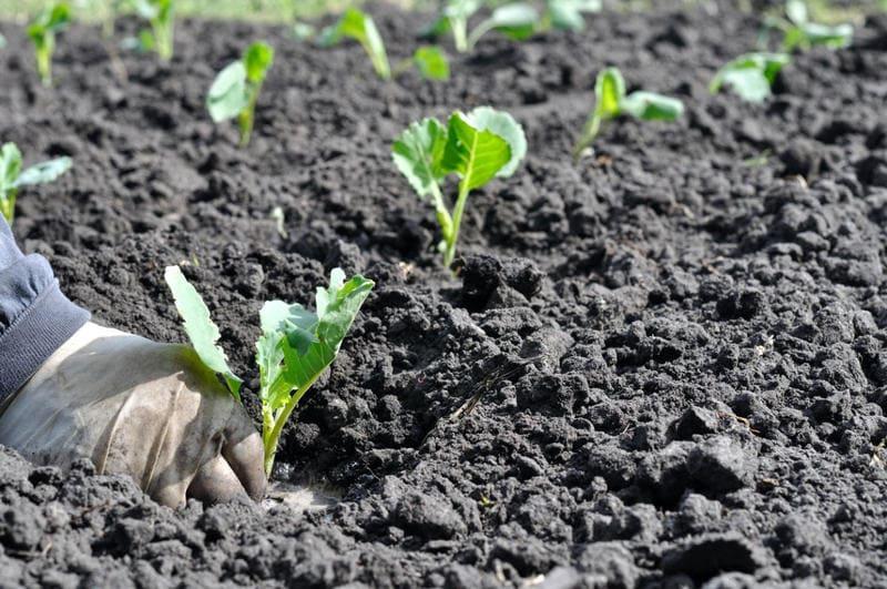 Фото посадки капусты в открытый грунт
