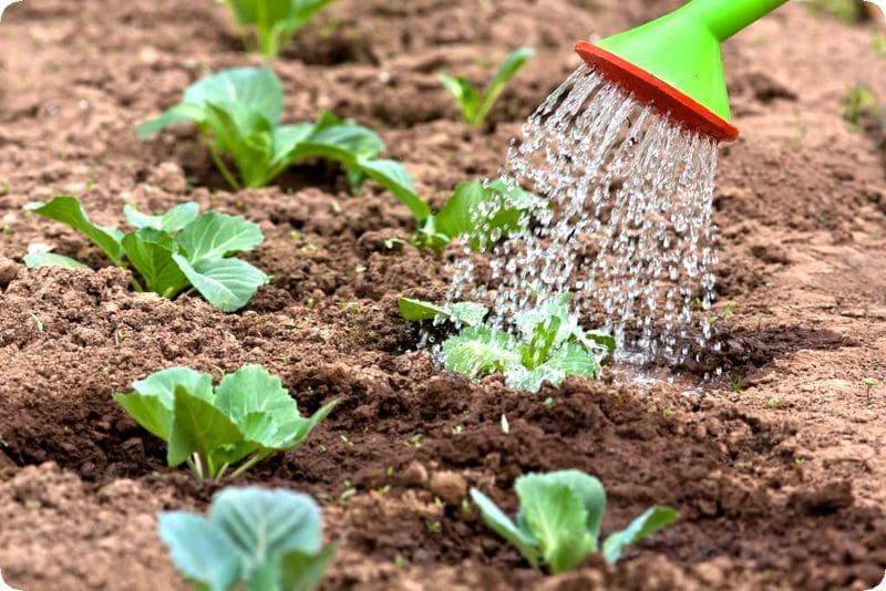 Фото полива капусты