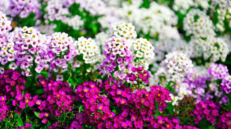 Фото цветов алиссума