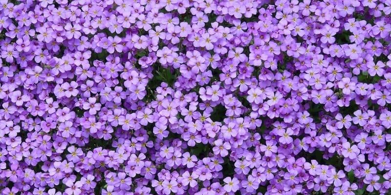 Фото фиолетовой обриеты