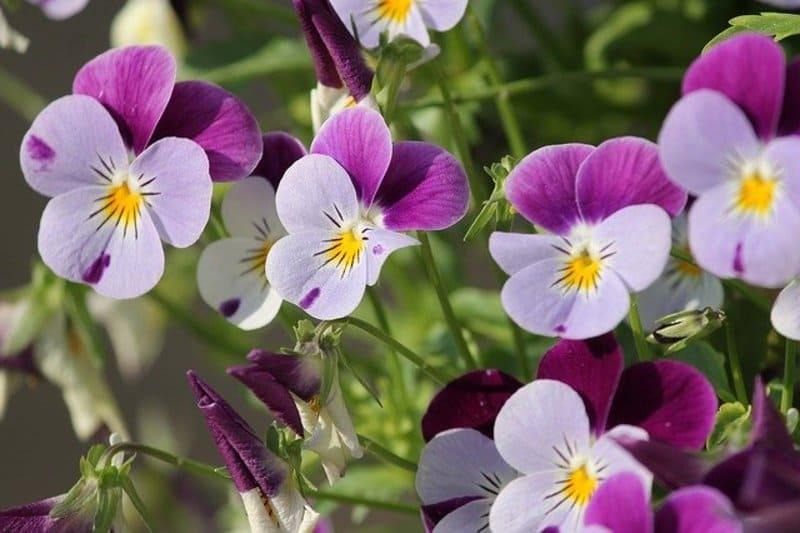 Фото фиолетовой виолы