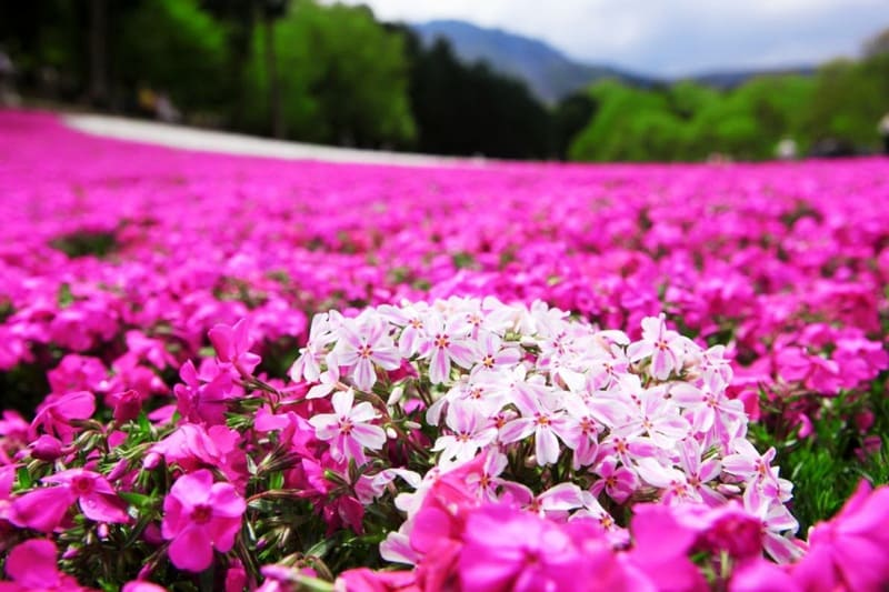 Фото цветения флоксов