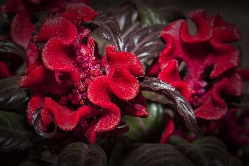 Фото гребешковой целлозии