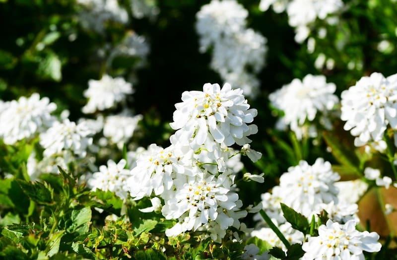 Фото цветов ибериса