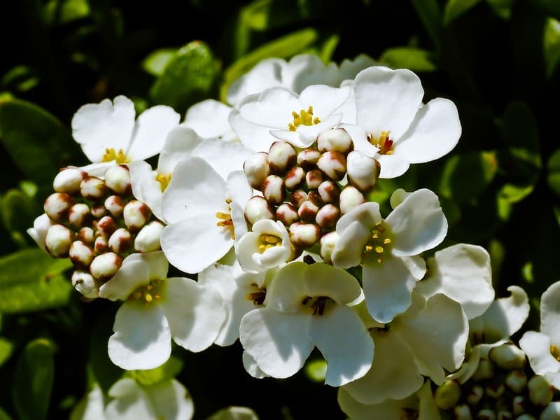 Фото белого цветка ибериса