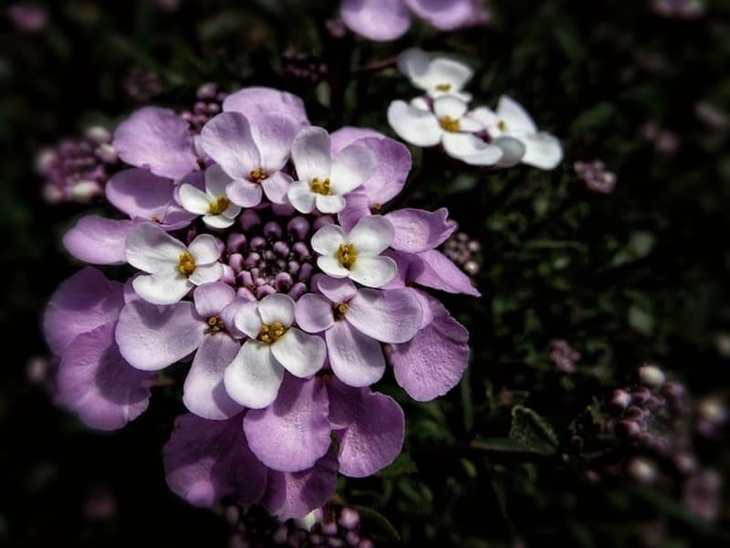 Фото цветка ибериса