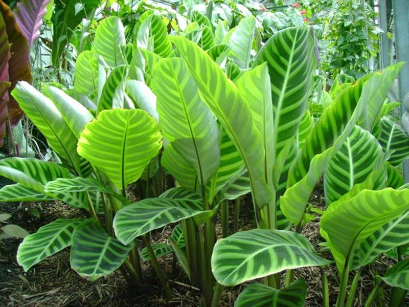 Фото калатеи в естественной среде