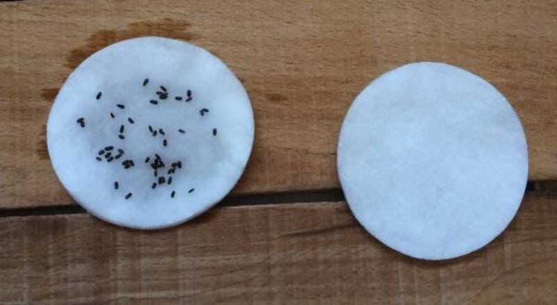 Фото закаливания семян лаванды