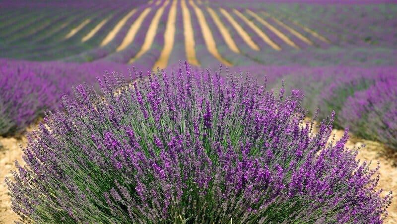 Фото лавандового поля